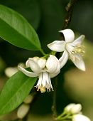 stock photo of orange-tree  - orange blossom is the waxy white blossom of the orange tree - JPG