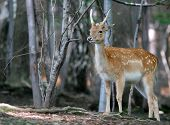 stock photo of deer head  - brown fallow young male deer on natural background - JPG
