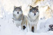 Two wolves in cold winter forest poster