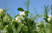 pic of sweetpea  - organic vegetable gardens sugar snap peas reaching for the sun on a bright spring day - JPG