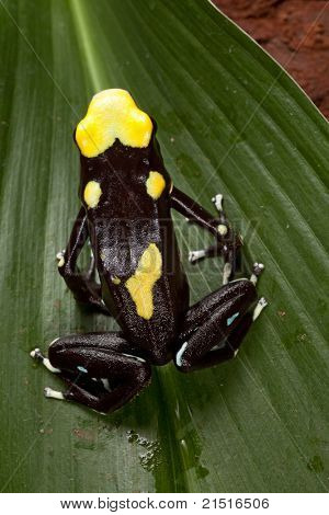 poisonous animal poison dart frog from amazon rain forest with beautiful bright vibrant colors yellow and black. sold in pet stores to keep in a tropical jungle terrarium.