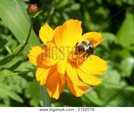 Bee On Cosmo Flower