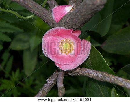 Pink Poppy In A Tree