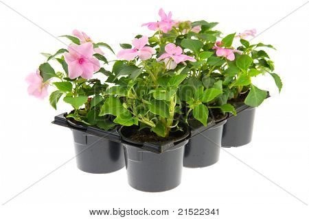 Black plastic tray with pink Busy Lizzy plants for the garden