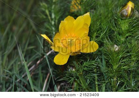 Yellow Pulsatilla Pratensis (small Pasque Flower)
