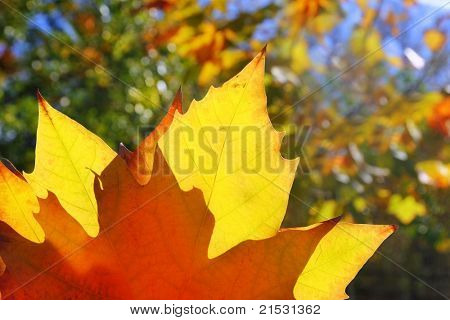 autumn yellow golden leaf macro closeup in forest