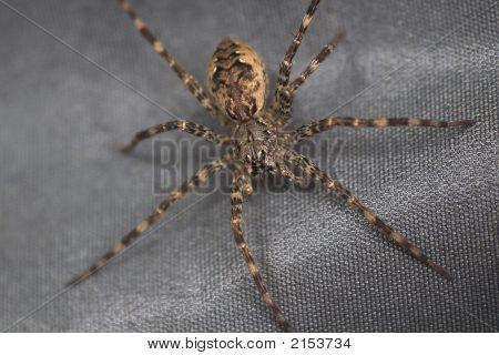 Hairy Spider