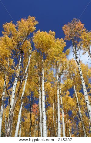 Aspen Grove, Vertical