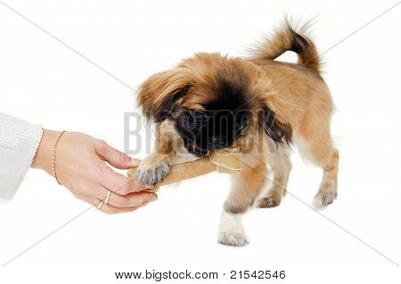 Puppy Eating Bone
