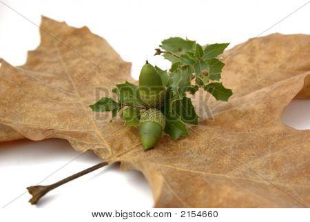 Acorn With Dry Leaf