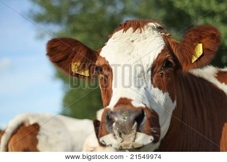 Close Up Of A Cow.