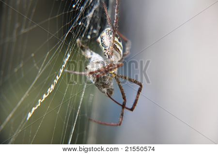 The spider hunts in a torn