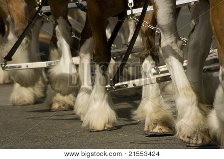 Clydesdales hooves