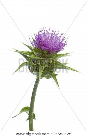 Flowering Milk Thistle
