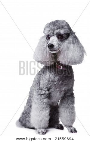 Gray poodle on isolated white background