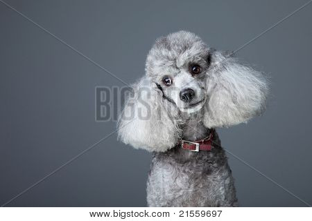 Curious gray poodle