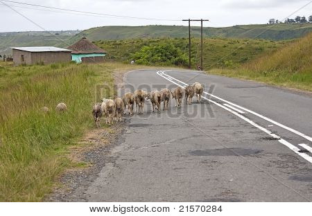 Herd of sheep walking over road over rural