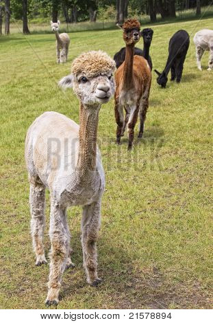 Shaven Alpaca in Field
