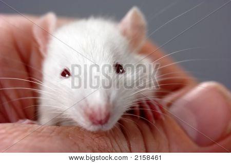 Four Week Old Rat
