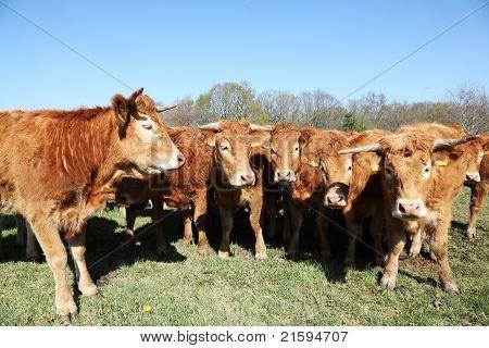 Limousin Cow Herd