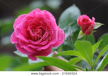 Chinese rose flower