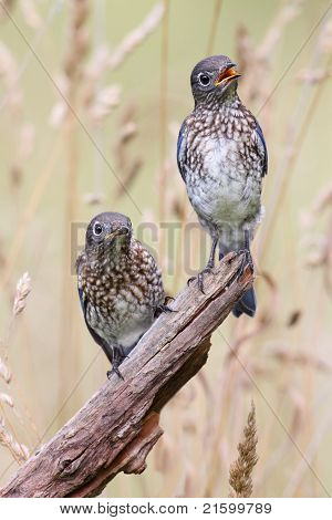 Baby Eastern Bluebirds