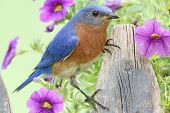 stock photo of bluebird  - Male Eastern Bluebird  - JPG