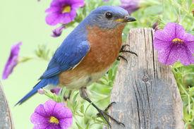image of bluebird  - Male Eastern Bluebird  - JPG
