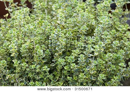 thymus vulgaris faustini
