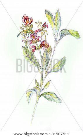 Salvia officinalis. Drawing pencils.