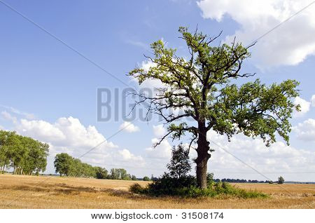 Background Of Oak Tree In Riped Agricultural Field