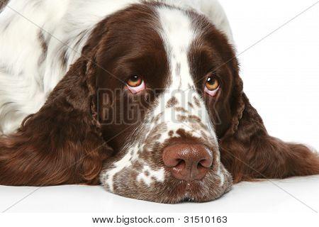 Triste Springer Spaniel. Retrato do close-up