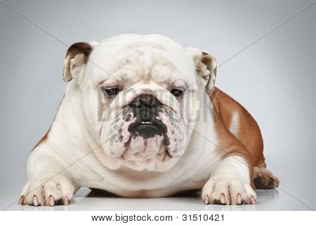 English Bulldog Lying On Grey Background