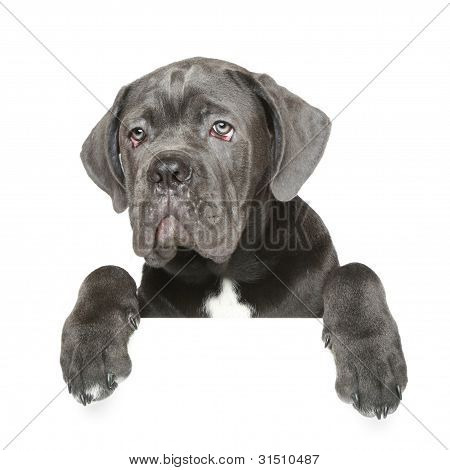 Cane Corso Puppy Gets Out Of The Box