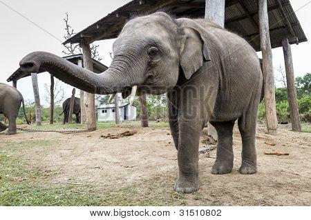 Small Elephant On Farm