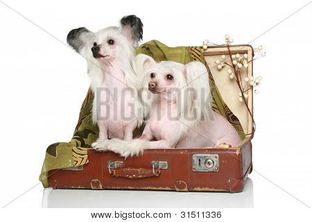 Two Chinese Crested Dogs Sits In Old Suitcase