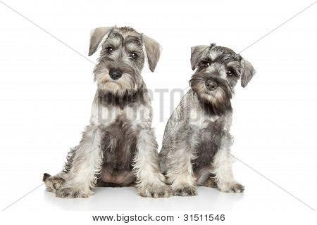 Miniature Schnauzer Puppies On White Background
