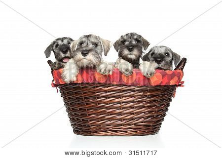 Miniature And Standard Schnauzer Puppies In Basket