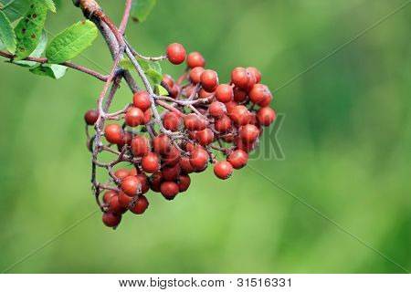 Red Berries in Close-up