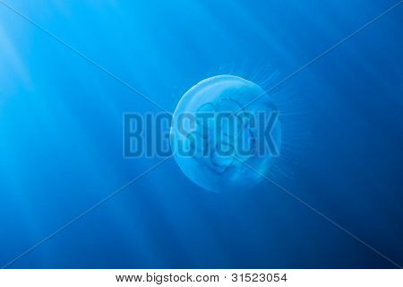 Moon Jellyfish In Sun Rays