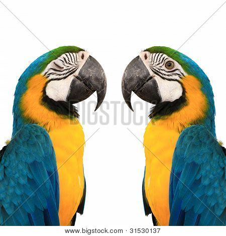 blue and yelow macaw love bird background color white