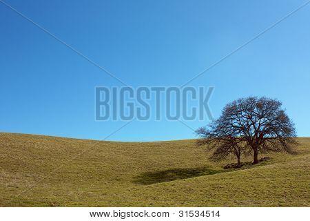 Two oak trees