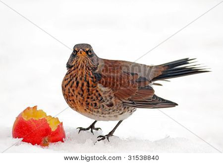 Fieldfare in the snow
