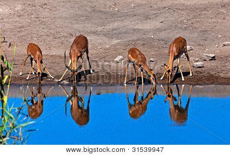 Impalas drinking
