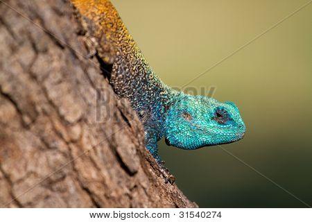 Tree Agama Close Up