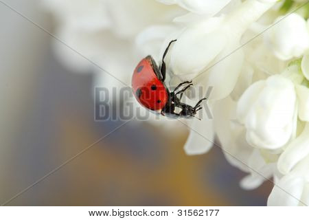 Ladybird On Lilac