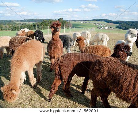 alpacas on a field