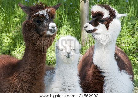 Três diferentes alpacas