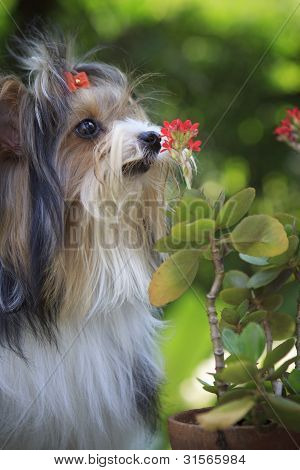 biver yorkshire terrier in the home garden
