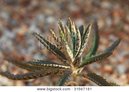 Aloe Fleshy Rosette; Closeup